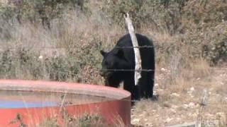 oso en ocampo 1