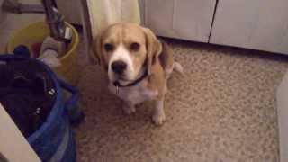 Boni Beagle Fürdés Előtt