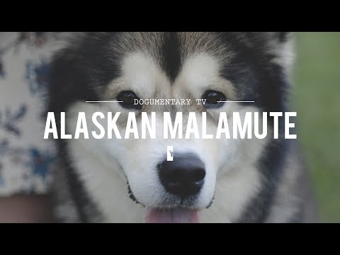 ALL ABOUT ALASKAN MALAMUTES: THE HEAVY DUTY SLED DOG