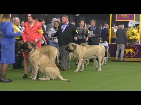 Mastiff Westminster dog show 2020