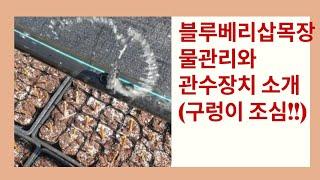 블루베리 삽목판 물관리와 가성비 최고 관수 장치 소개