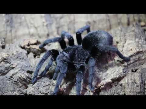 Grammastola pulchra The Brazilian Black by The Deadly Tarantula Girl