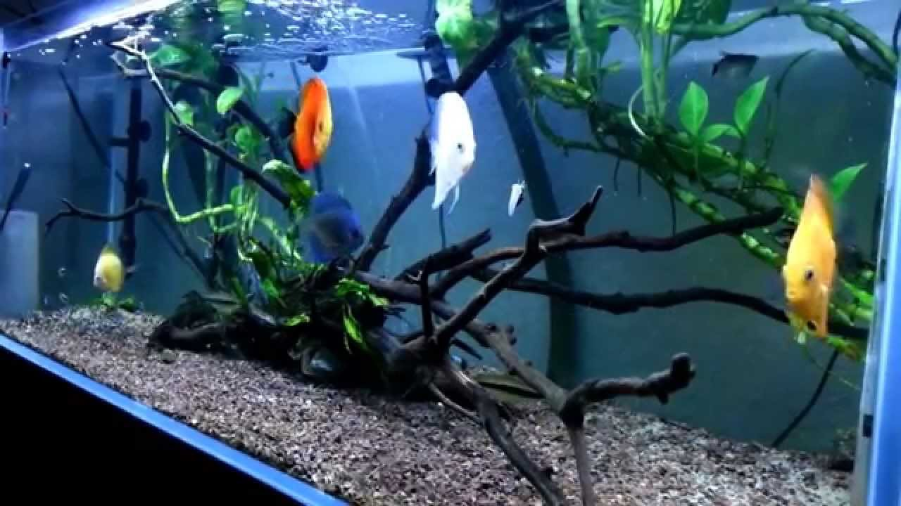 red yellow white diamond blue discus planted aquarium tank cf500 filter led light youtube. Black Bedroom Furniture Sets. Home Design Ideas