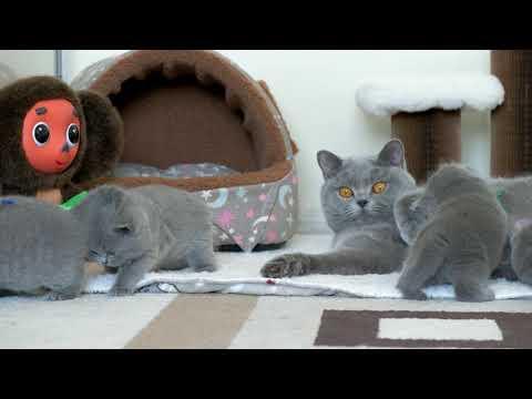 Британские котята в возрасте 4 недели (Litter- P2)