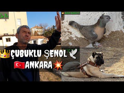 Видео: TAKLACI OYUN KUSU GUVERCIN SENOL BAYRAM TOP 10 PIGEONS পায়রা PALOMAS कबूतर الحمام 鴿子 ハト