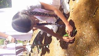 TEA PLANTATION i - BULATHGAMA SCHOOL  , BALANGODA, SRI LANKA