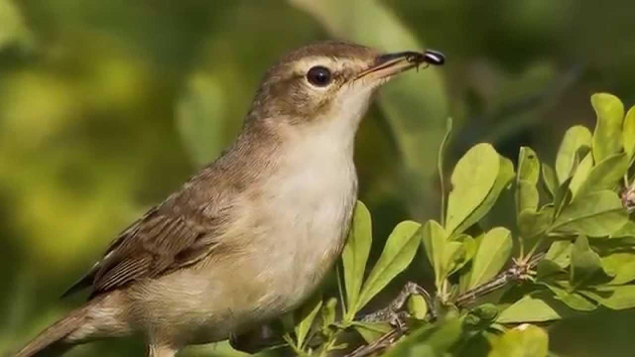 Звуки Природы. Пение птиц - Бормотушка - Звуки птиц.
