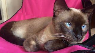4K  Siamese cat ( 8 minutes )