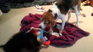 Lois The Beagle And Lana The Yorkie Tug Of War With Superman