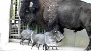アメリカバイソンとクビワペッカリー。American bison and Collared Peccary.
