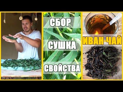 Иван Чай: польза и вред, калорийность, полезные и лечебные