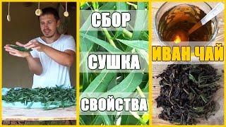ИВАН ЧАЙ: свойства, сбор, сушка, ферментация