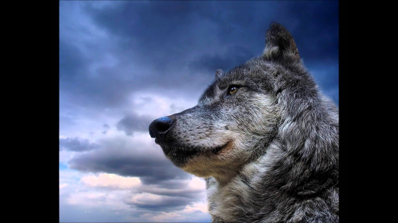 Wolf Howls Beautiful Nature Sounds Youtube