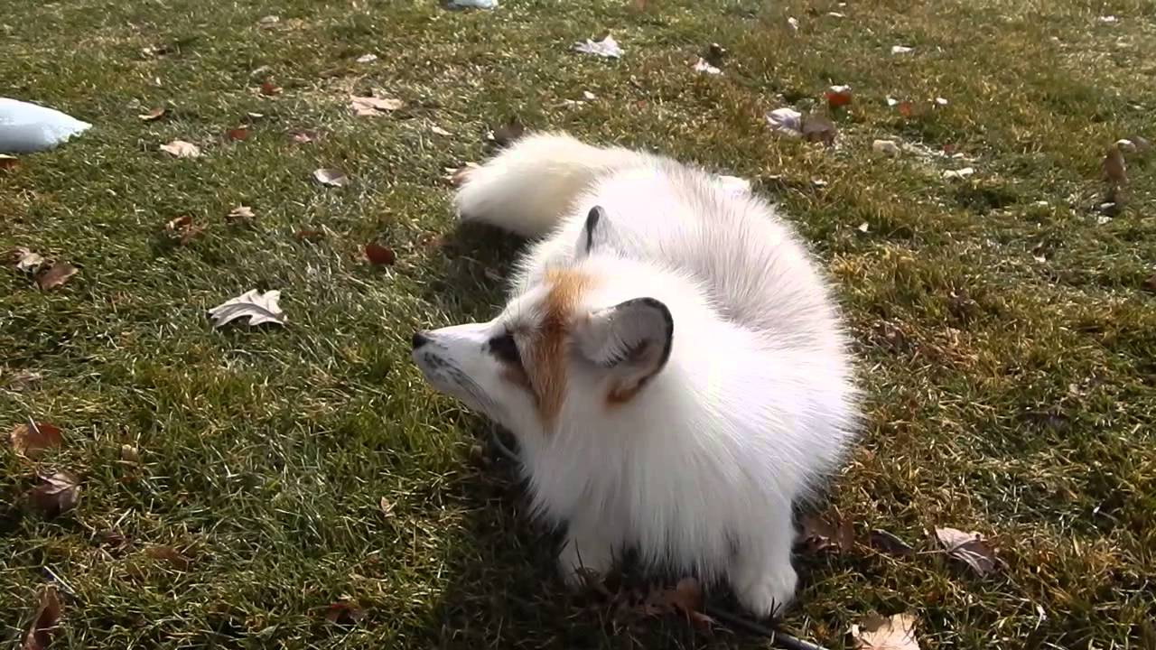 Fluffy Fox Adventures 2014 - YouTube