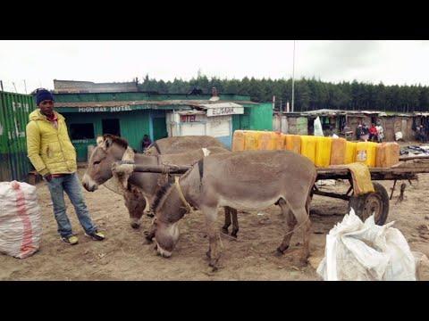 فرانس 24:Video: Africa's donkeys slaughtered to make Chinese 'miracle elixir'