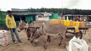 Video: Africa's donkeys slaughtered to make Chinese 'miracle elixir'