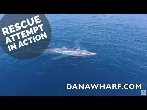 Blue Whale rescue attempt off Dana Point