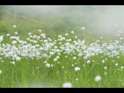 Soft Wind ワタスゲ