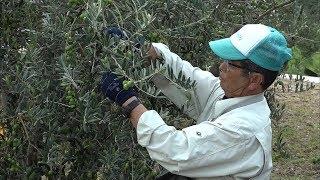 もうすぐ解禁!「新漬用オリーブの実」収穫始まる 香川・小豆島オリーブ公園