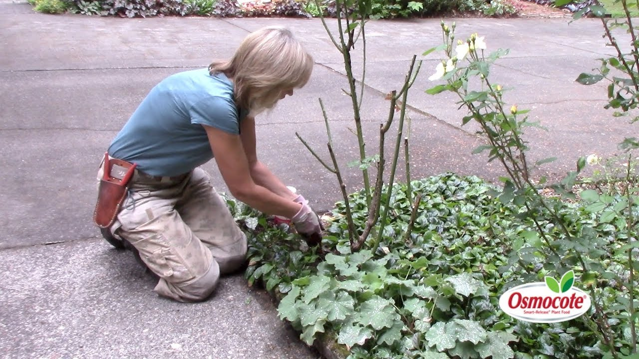 How To Fertilize Rose Plants You