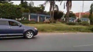 A LION ESCAPES NAIROBI NATIONAL PARK KENYA 2016