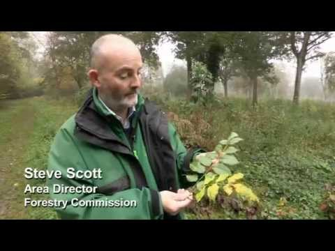 How to identify Chalara ash dieback in the field