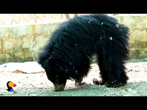 Baby Sloth Bear Uses Nose As Crutch After Losing Paw | The Dodo