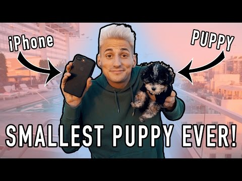 WORLD'S SMALLEST PUPPY! Size of iPhone! (Cuteness Overload)