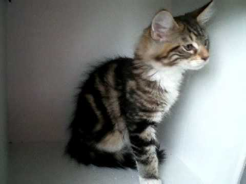 Brown Classic Tabby with White Maine Coon Kitten - YouTube