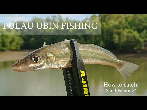 Pulau Ubin Fishing   How To Catch Sand Whiting
