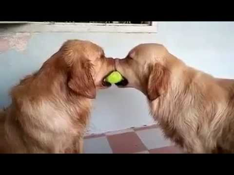Golden retriever mediates ball fight