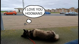 Dog cant resist telling strangers he Loves them! Sherpa gets recognised by passers by