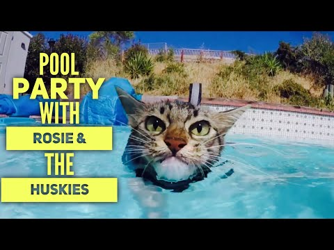 Pool Party with Kitten Rosie and the Husky Pack!