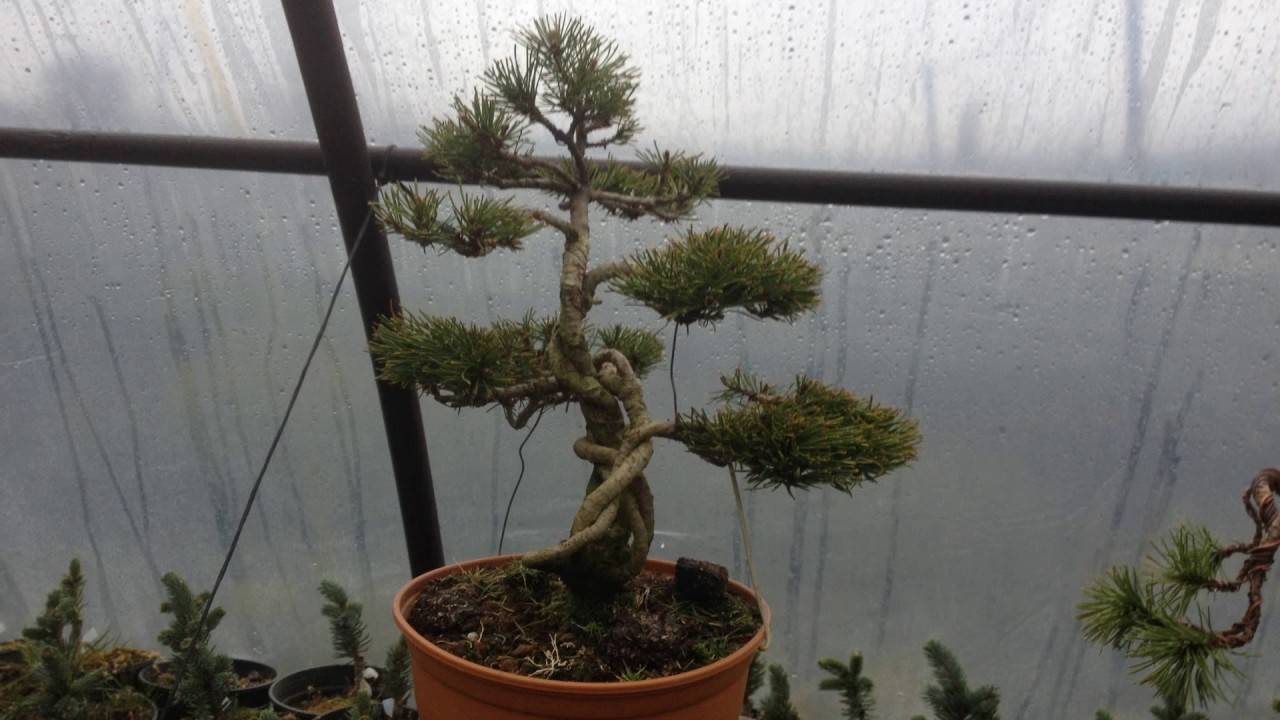 Bonsai Pinus Mugo 2017