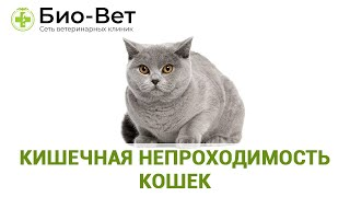 Кишечная непроходимость кошек. Ветеринарная клиника Био-Вет.