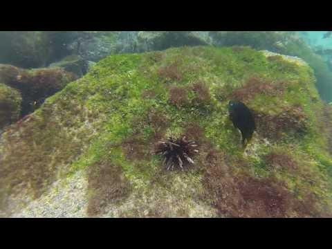 Damselfish Moving a Sea Urchin