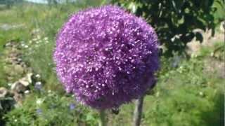 Panasonic TZ20 - Bees on Allium schoenoprasum giganteum