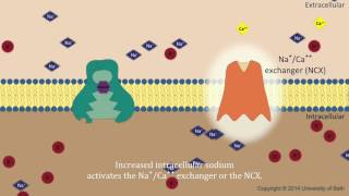 digoxin mechanism of action