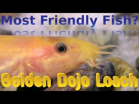 Most Friendly Fish? Golden Dojo Loach