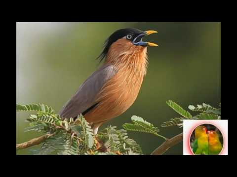 Suara Ocehan Burung JALAK untuk Masteran dan Pancingan JALAK JUARA