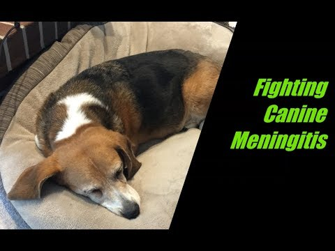 Canine Meningitis in a Beagle