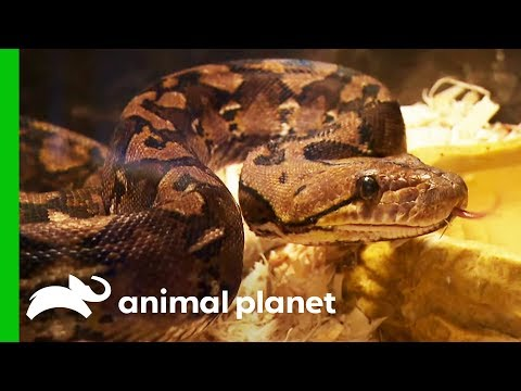 15 Snakes Rescued From A Hoarding Situation | Animal Cops Houston