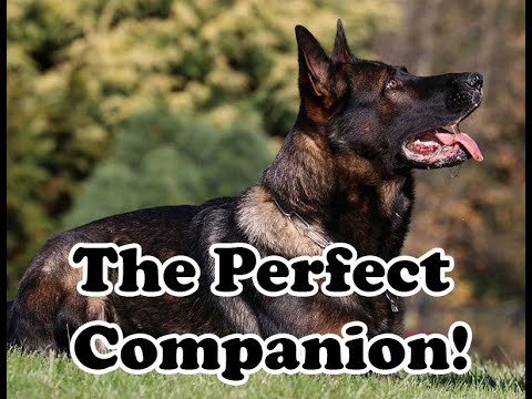 kraftwerk-k9-german-shepherd-full-power-outside,-completely-calm-inside!