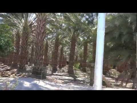 Где растут финики где растет пальма Продукты питания