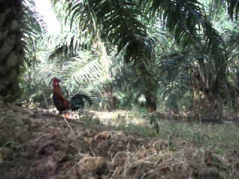 Ayam hutan Jerantut 3