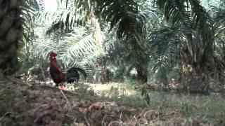 Gambar cover Ayam hutan Jerantut 3