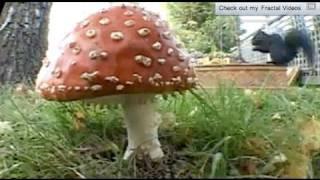 Mushroom time lapse Amanita Muscaria