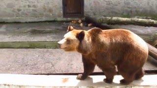 Бурый медведь, гималайский и белый медведи в Харьковском зоопарке
