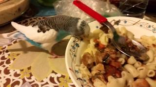 Попугай клюёт макароны