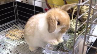 ホーランドロップ 赤ちゃん small rabbit  Holland Lop